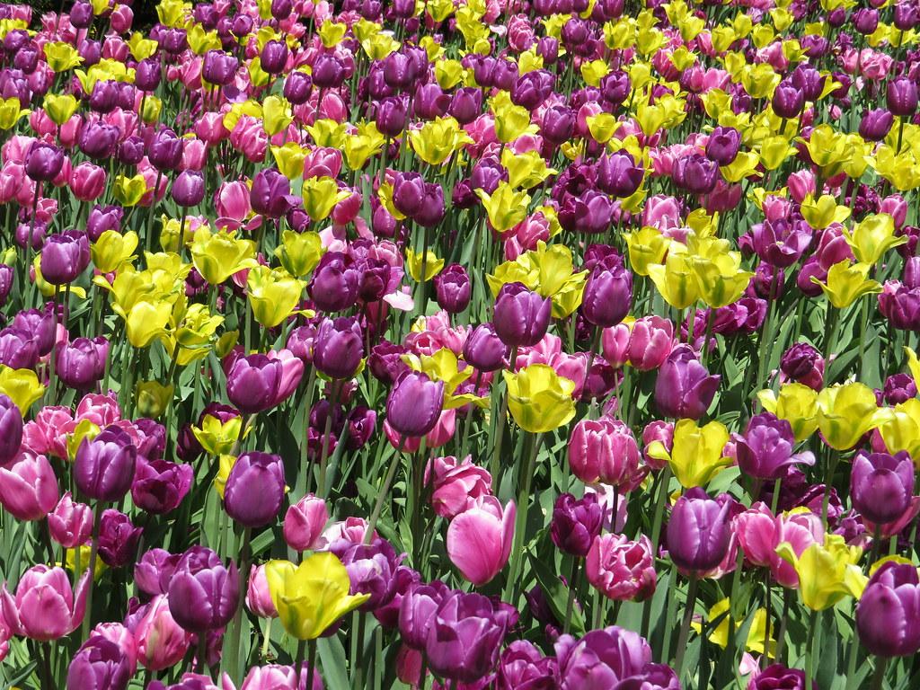 Waves of Tulips
