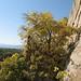 Native Hackberry tree