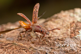 Straight-Snouted Weevil (Brentidae) - DSC_1496 | by nickybay