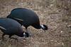 Crested Guinea Fowl (Guttera pucherani) by jrothdog