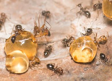Closeup on honeypot ants (Myrmecocystus mimicus) at Oakland Zoo   by D Coetzee