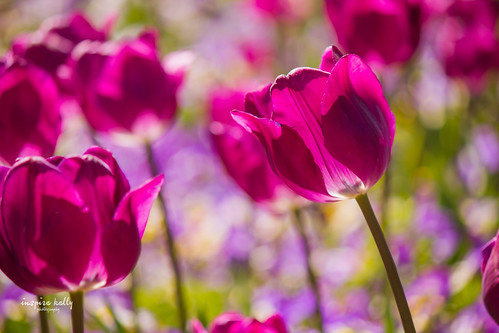 Tulips at Floriade | by Kelly Hunter