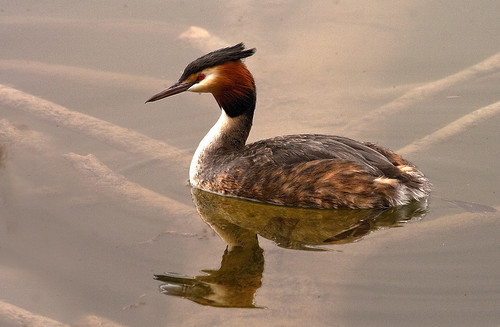 Great Crested Grebe A P-6
