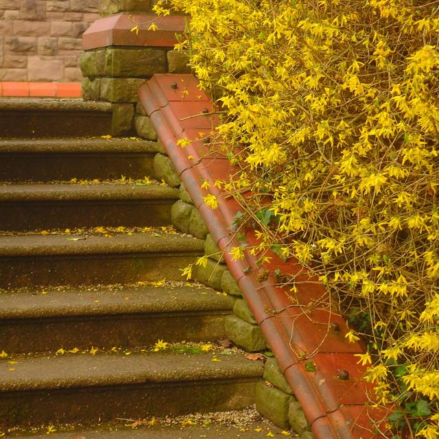 Forsythia Steps