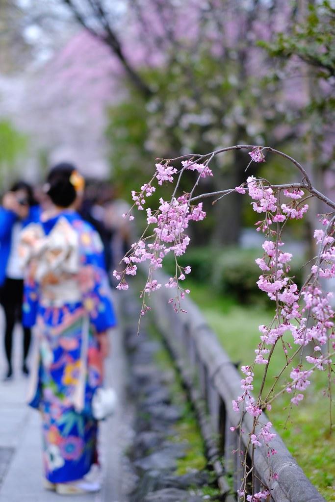 Kyoto_Sakura