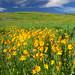 Orange Arnica meadow, Southern Grasslands Habitat Conservation Area.
