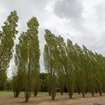 Wind swept trees, Versailles