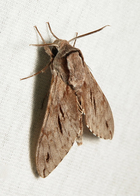 Hawk Moth (Sphinx oberthueri, Sphingidae)