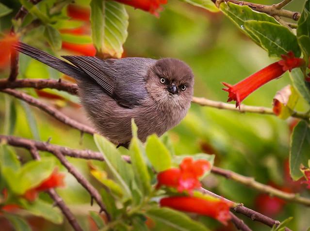 Lady Bushtit on a rainy Winter day South Coast Botanic Garden 207