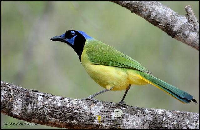 DSC_6072 Green Jay