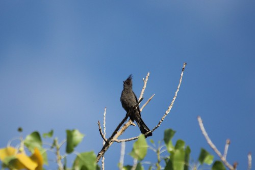 Phainopepla | by Birding In New Jersey