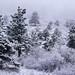 Snow and rime ice coat ponderosas at Chautauqua.