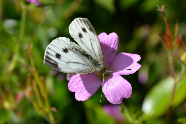 Black-veined Small White Butterfly Aporia Crataegi