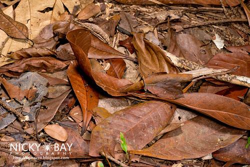 Forest Leaf Grasshopper (Systella rafflesii) - DSC_7651 | by nickybay