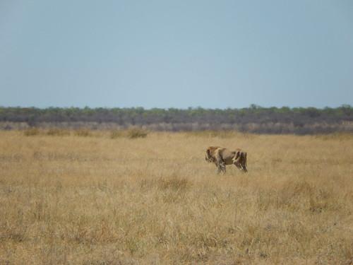Etosha NP -  leeuw in het veld