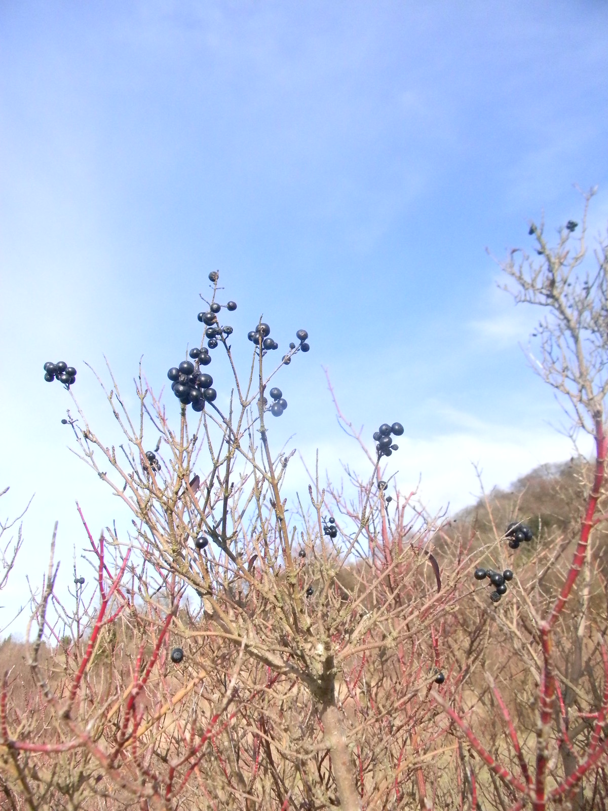 Dogwood berries (not edible) Princes Risborough to Wendover