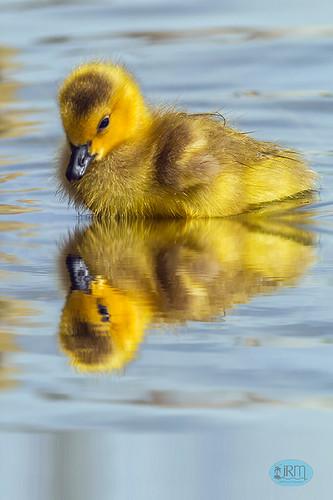 gosling duckling sunsetpark reflection yellow paradise