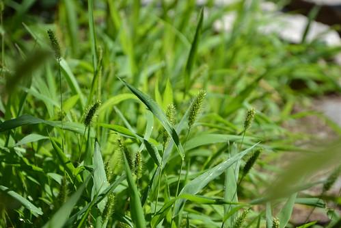 Setaria verticillata, S. viridis, S. pumila - les sétaires 33492155821_d0d7b32240