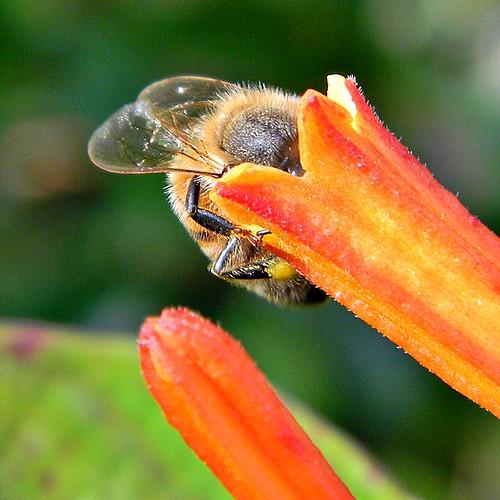 up display florida cam bee heads honeybee palmbeachcounty pollination rubiaceae justkidding pollinator apismellifera firebush hameliapatens hamelia taxonomy:family=rubiaceae frenchmansforestnaturalarea taxonomy:binomial=hameliapatens