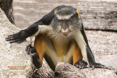 tampa zoo monkey florida guenon lowryparkzoo tampazoo lowrypark wolfsguenon wolfsmonamonkey tampalowryparkzoo monkeywolfsmona guenonwolfs