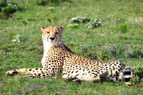 Male cheetah | by Colin the Scot