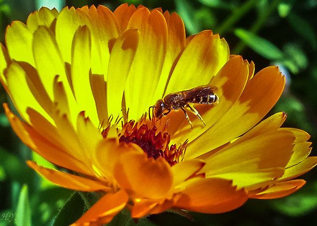 Collecting pollen from Calendula