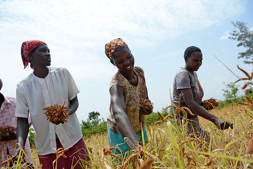 Harvesting season in Nyando climate-smart villages | by CGIAR Climate