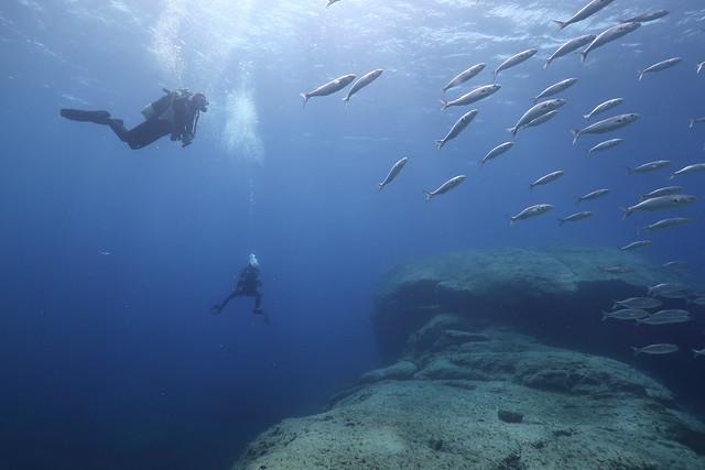 Divers with school Bluefisch (Pomatomus saltatrix). Sub ammirano i pesci Serra (Pomatomus saltatrix).