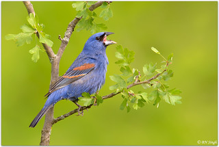 Blue Grosbeak | by BN Singh