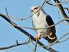 Peneireiro-cinzento // Black-winged Kite (Elanus caeruleus) by Valter Jacinto | Portugal