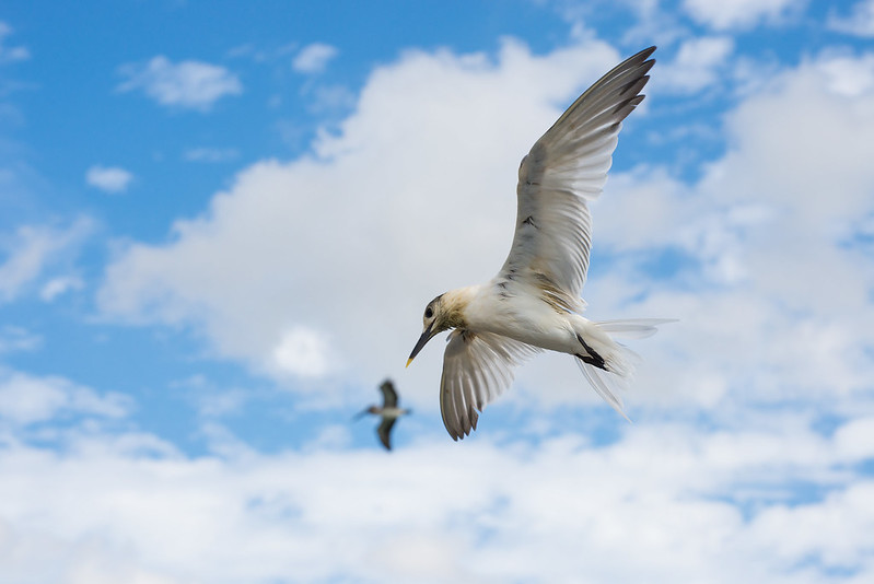 White winged tern