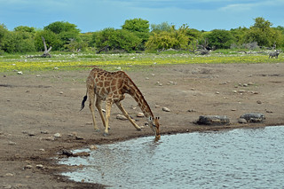 Giraffe at the Waterhole - Etosha Game Reserve, Namibia (Explored 19/02/2014) | by Tom - With his Nikon