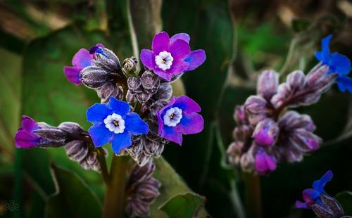 blue oregon unitedstates magenta beaverton fav20 bud wildflower cynoglossumgrande fav10 coopermountainnaturepark greathoundstongue