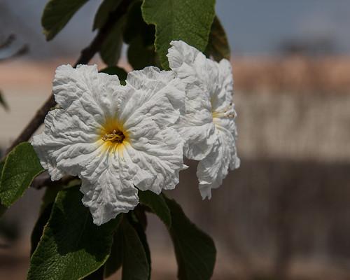 flower portaransas hibiscus white