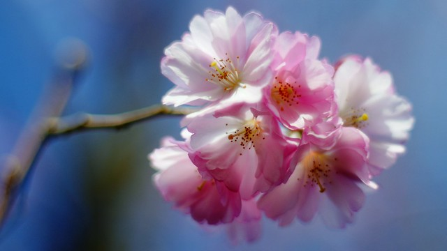 Prunus ` Accolade `
