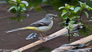 A Grey Wagtail with its  Breakfast | by grays images