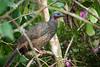 Band-tailed Guan (Penelope argyrotis) by Sergey Pisarevskiy