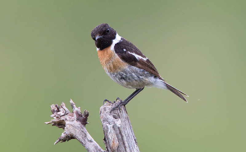 Beautiful Male Stonechat