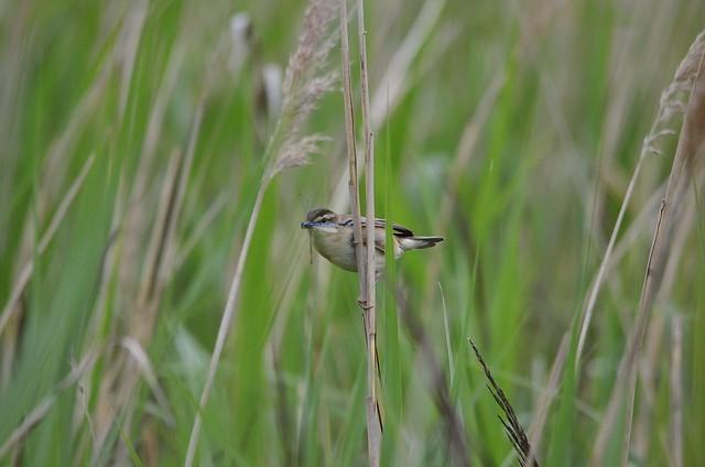 Sedge Warbler 12