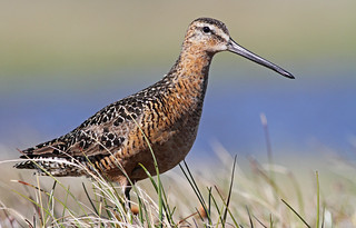 Long-billed Dowitcher | by uropsalis