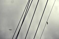 Gotham gastown birds and wires