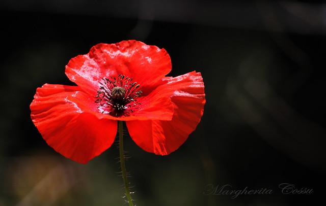 Nella mitologia si narra che il Papavero fosse il fiore della consolazione.