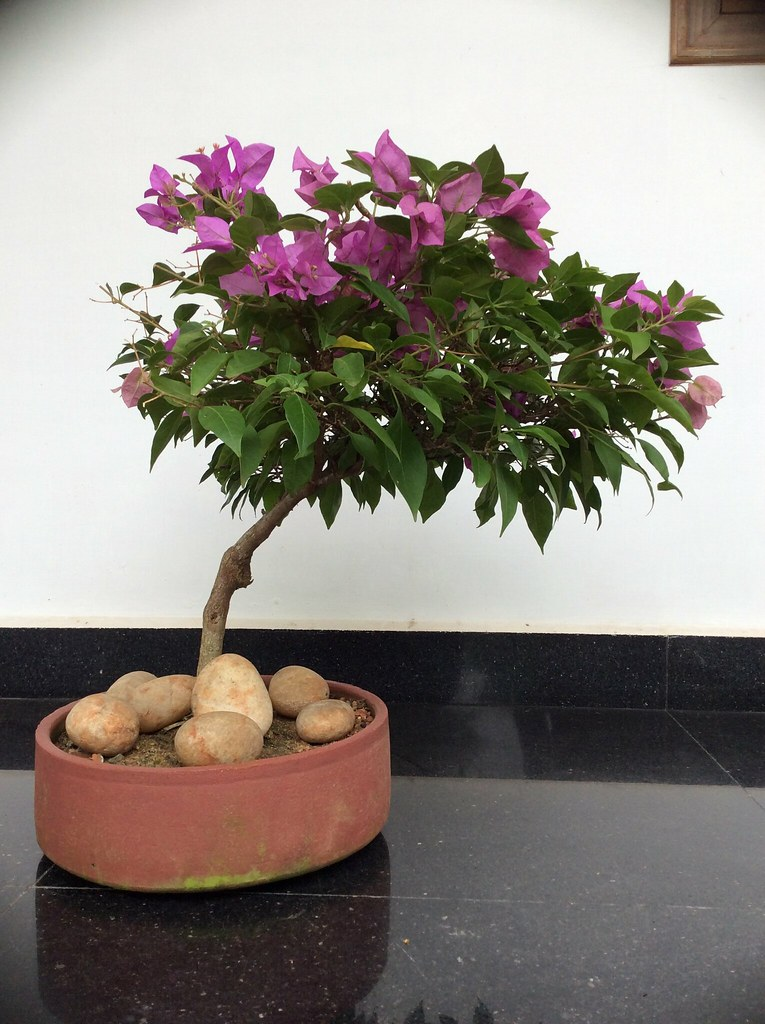 Purple bougainvillea bonsai. -