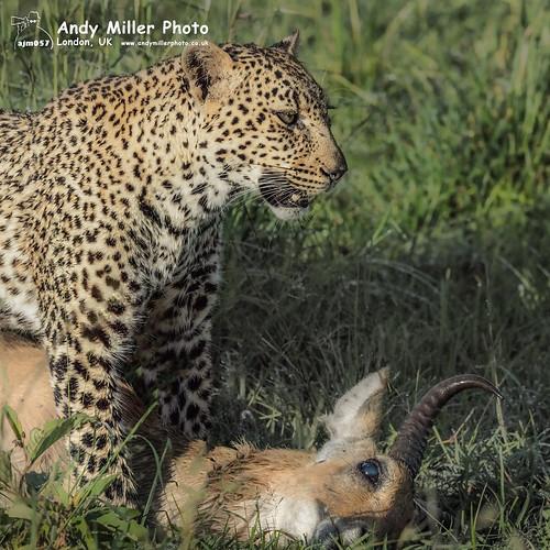africa andymiller andymillerphotolondonuk carnivoracarnivorans entimcamp felidaecats kenya leopardpantherapardus mammal masaimaranationalreserve nikonafs400mmf28efl nikond5 panthera pantherinae reservesparks suborderfeliformia narokcounty leopard c2017andymillerphotouk