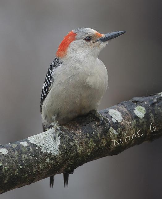 Female Red-bellied Woodpecker  49
