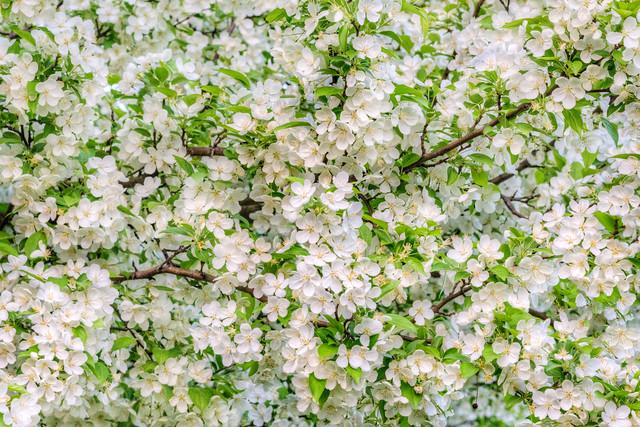 Apple Blossom Tree Cluster