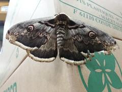 ATIV Enorme Papillon