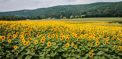 flower field birds yellow rural canon landscape eos newjersey flora farm country scenic nj seed sunflowers 7d bloom feed hackettstown blackoil audobonsociety donaldsonfarms canon7d don3rdse september2013 3rdsiblingphotography allenroadfarmmarket saveprogram