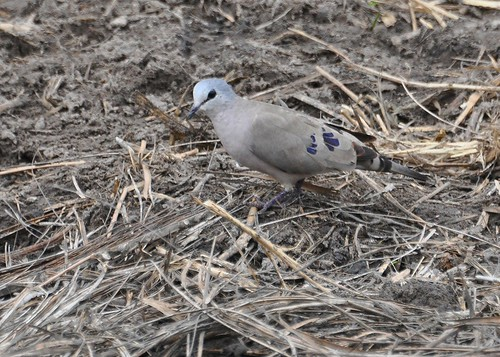 Turtur abyssinicus - Black-billed Wood-Dove - Tourtelette d'Abyssinie - 040212 | by Philippe_Boissel