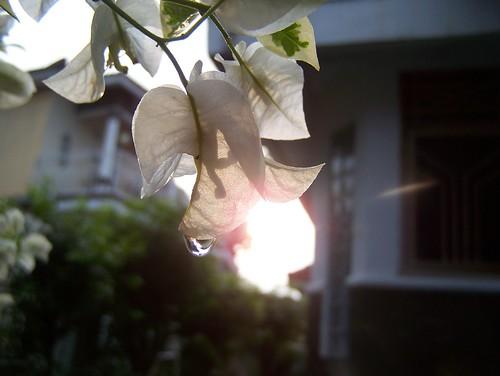 flowers sunset green nature beautiful bougainvillea bunga waterdrops bungakertas kertas kodakz650